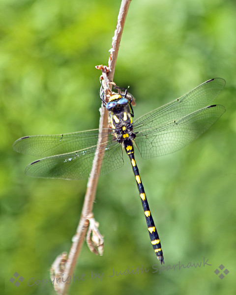 Pacific Spiketail ~ On a trip to the mountains today, I saw this dragonfly on a plant stalk.  I had never seen this one before, but my California Dragonfly book says it is a Pacific Spiketail.  It was very pretty with its blue eyes and bright yellow spots.
