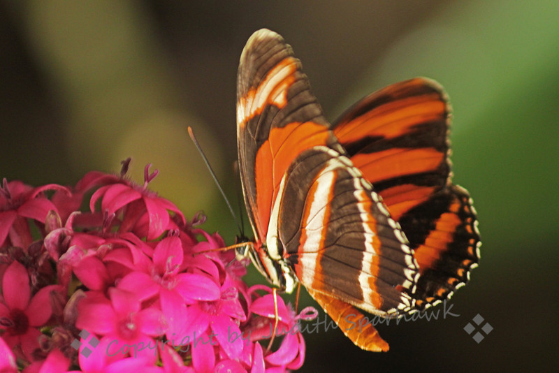Banded Orange Heliconian ~ This butterfly can be found in South Texas.  It lays its eggs on Passion plants.