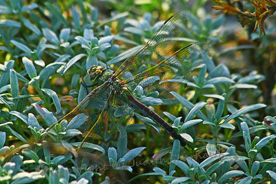 Dragonfly at Bolsa Chica ~ While birding at Bolsa Chica Ecological Reserve in Orange County, I saw this dragonfly.  Seen at larger sizes, the intricate patterns of its wings are very beautiful.  I believe this is a Common Green Darner, adult male.