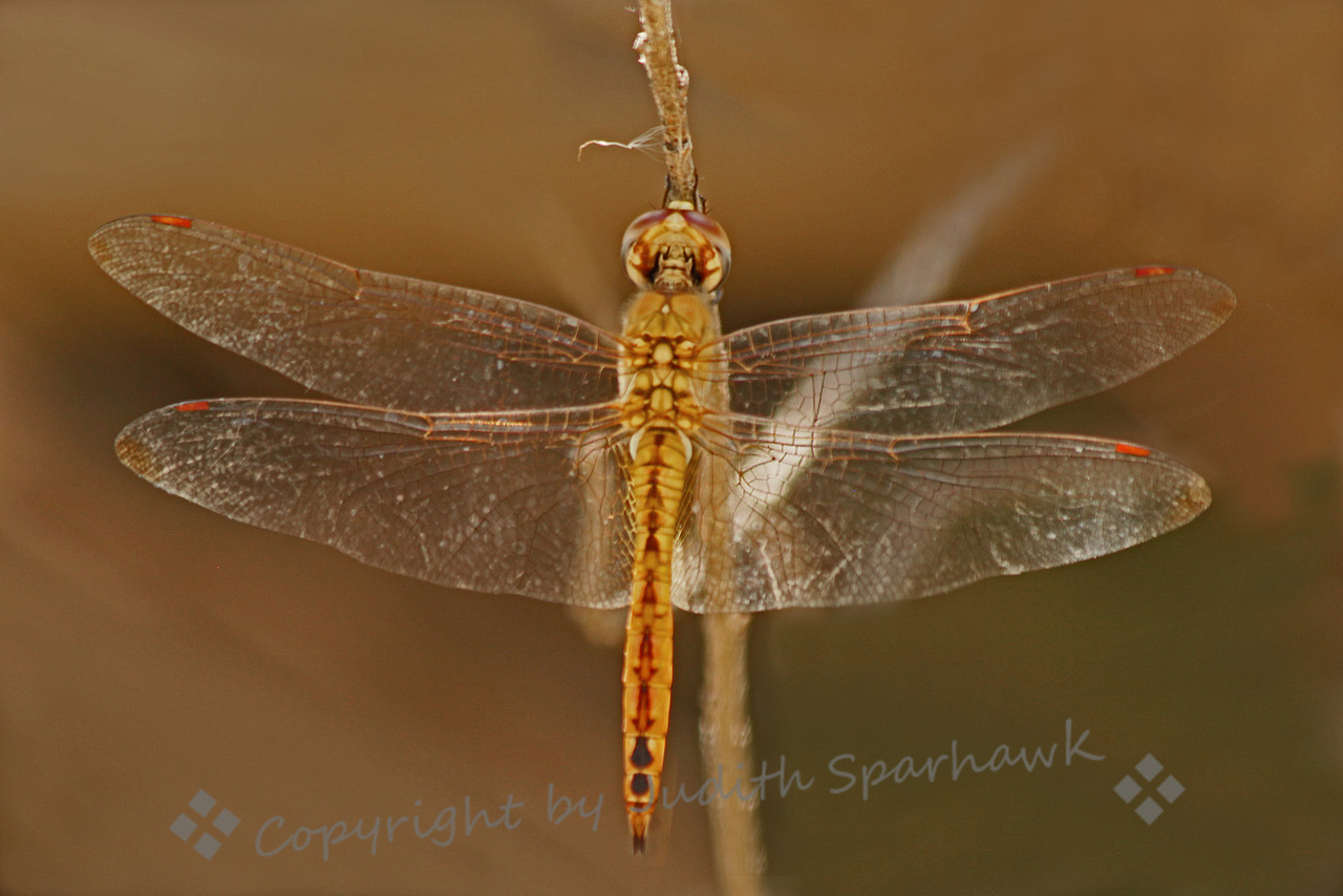 Wandering Glider ~ This small yellow dragonfly was one of many species seen at San Jacinto Wildlife Area.  They mostly flitted around, and were difficult to photograph as they seldome stopped to light on the nearby twigs.