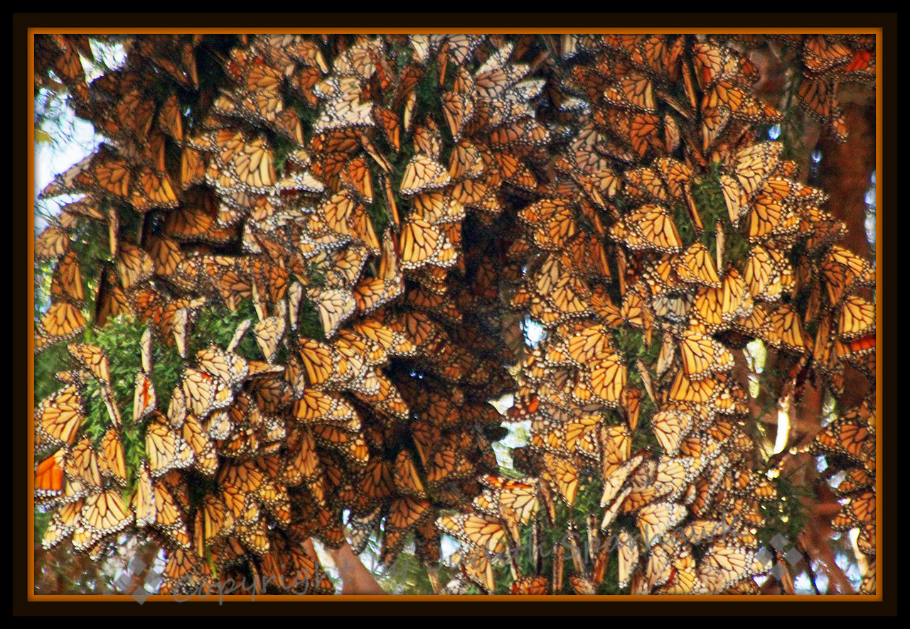 Lots & Lots of Monarchs ~ On a recent trip up the coast, I stopped in Pismo Beach, where Monarch butterflies migrate and spend the winter.  This shows just a small portion of the butterflies there.  It was a joy to see.