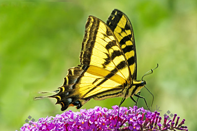 Western Tiger Swallowtail Butterfly ~ This swallowtail was one of many fluttering around the Bird and Butterfly Garden in the Tijuana River Valley area near San Diego, CA.