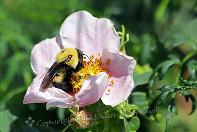 Bumble Bee in the Wild Rose ~ This was a very big and fuzzy bumblebee.  I think it is a Common Eastern Bumblebee, based on my field guide.  It was photographed in Colorado, and it definitely looks different from my California bees.