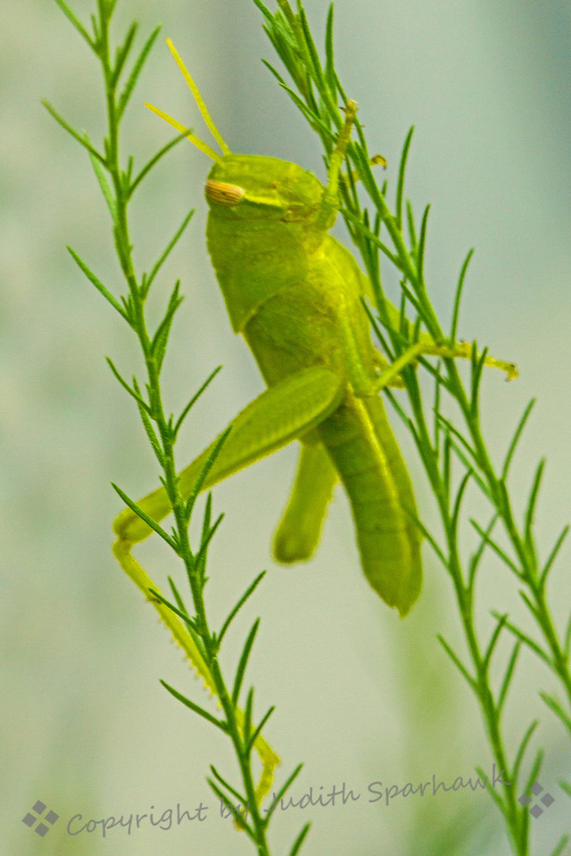 """Grasshopper on Fern ~ My patio """"pet"""" grasshopper keeps growing and shows up every day or so when I water the plants.  When he hops into a position to photograph, I grab my camera and try for a few new shots."""