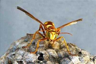 Top Wasp