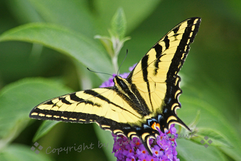 Western Tiger Swallowtail Butterfly ~ Today I visited the Bird and Butterfly Garden, part of the Tijuana River Valley Park.  There were several of these beautiful butterflies visiting the flowering bushes in the garden.