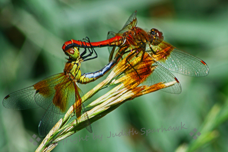 Embrace of the Dragonflies ~ This pair of Meadowhawks was flitting around a small pond at Cherry Creek State Park in Colorado.  I had photographed them resting on some grasses, and the next time I looked over they were mating.  The way she was embracing the male looked quite loving.