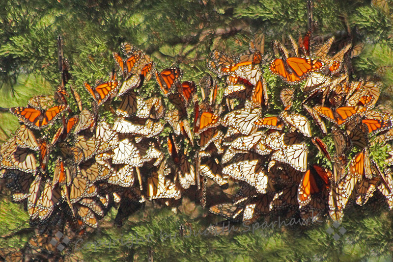 Cluster of Monarchs ~ This cluster of Monarch butterflies has been hit with sun rays, and many of the butterflies are opening their wings.