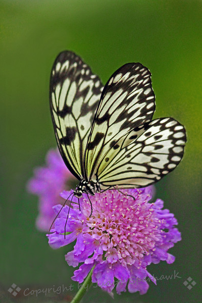 Black & White ~ This black and white butterfly was quite photographable.  I liked it with this pretty light purple flower.