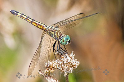 Blue Dasher Female