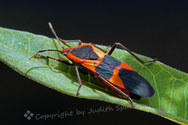 Large Milkweek Bug ~ I just got this milkweed plant, hoping to attract Monarch butterflies, and maybe even have some of their caterpillars to raise and photograph.  The morning after I brought the plant home, sure enough I had a Milkweed Bug.  Though I'd rather have Monarchs, this bug became my photo subject of the day.  For this close-up I used my 100 mm Macro lens, as well as a +1 and +2 diopters, to get extra close.