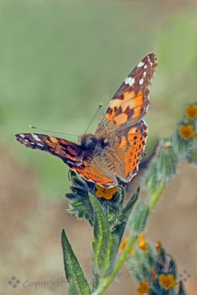 Painted Lady ~ The Painted Lady butterflies are migrating through right now.  On a hike today I saw many of them; this one stopped on these fiddlenecks and let me photograph it.