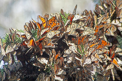 Here Comes the Sun ~ This mass of Monarch Butterflies was struck by the sun's rays, causing the butterflies to begin opening their wings and to start to fly.