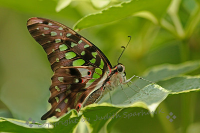 Tailed Jay Butterfly ~ The upper side of the wings of this beautiful buttefly are all green and black.  This underside has an interesting pattern and different colors.  Seen in larger sizes, the details of the face and eye can be seen.