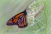 Monarch Resting