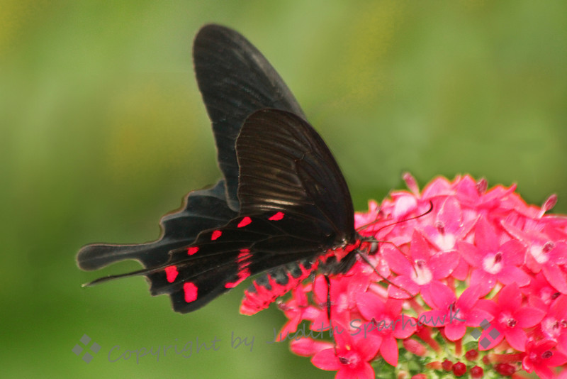 Black and Red ~ This beautiful butterfly was at the exhibit at San Diego Safari Park this weekend.