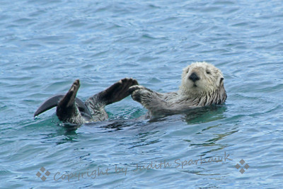 Fuzzy Face ~ This was one of the sea otters I photographed in Morro Bay this week.