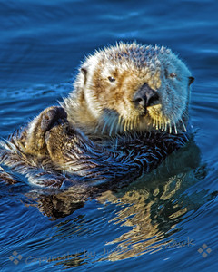 Sea Otter in the Morning Sun