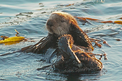 Sea Otter in the Kelp ~ The sea otters in the Morro Bay area come in closer to shore in sheltered areas in the winter.  The sun is just coming up, lighting up the fur on this cutie.