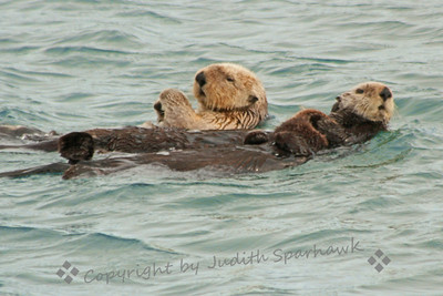 Momma & Child ~ Two of the sea otters I saw in Morro Bay were holding babies.  This one shows the older of the two young, after Momma lifted him off her chest and he swam around her, until she again hugged him to her.