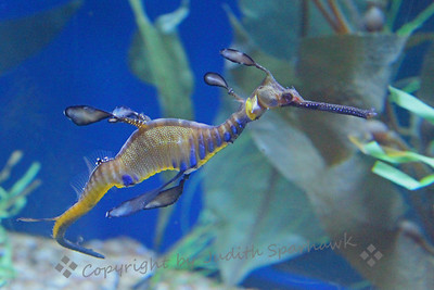 Weedy Dragon ~ Another strange and wonderful sea creature from the aquarium.  The Aquarium of the Pacific in Long Beach, California is really a fun place to visit and stretch the imagination regarding what strange sea animals and fish are possible.