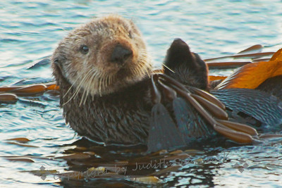 "Sea Otter in Morro Bay ~ This cute otter was rubbing his ""hands"" together, maybe to warm them up.  I understood the feeling...my hands on my camera were freezing in the pre-dawn chill in January."