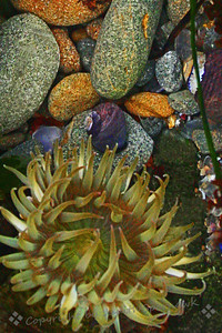 The Anemone & The Snail ~ This image was taken at a shallow  tidepool at low tide on Glass Beach, Fort Bragg, California.