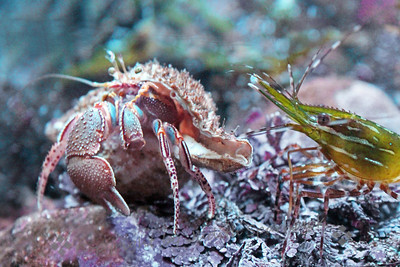 Hermit Crab Meets Shrimp