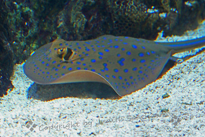The Spotted Ray