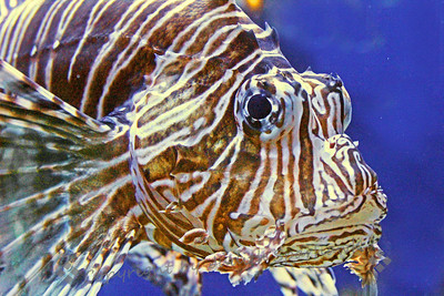 Lion Fish Portrait ~ A face only a mother could love.  The lion fish is really a beautiful fish with interesting fins and tail.  This portrait doesn't do him justice.