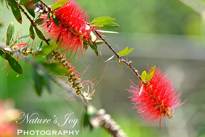 Bottle Brush Bush
