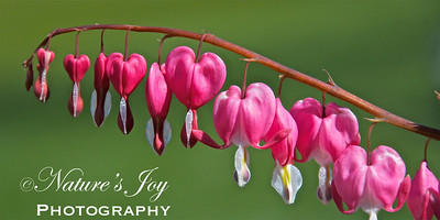 Bleeding Heart April 6, 2012