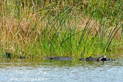 American Alligator  eating another... 11/18/13 Green Cay Wetlands, Boynton Beach, FL