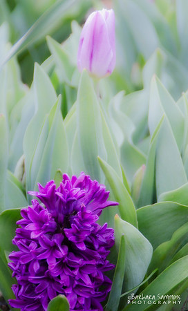 Hyacinth and Tulips