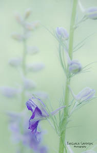 Larkspur with Morning Light
