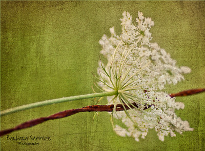 """Lean on Me"" - Queen Anne's Lace on Barbed Wire with Texture Overlay"