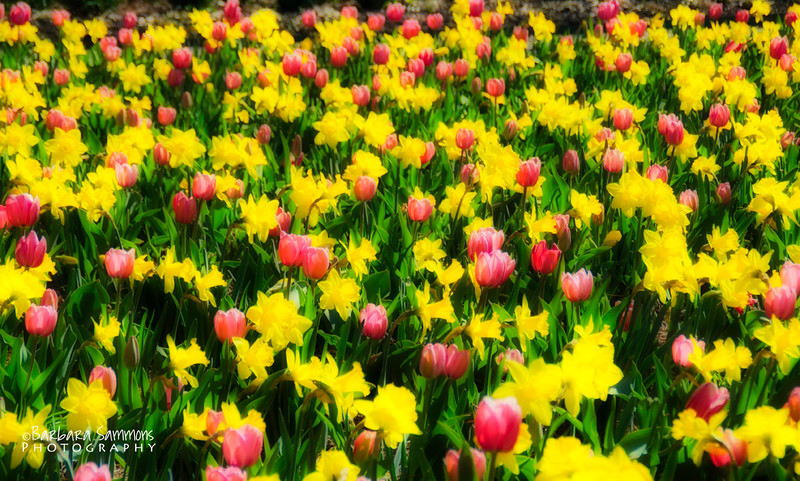 Tulips and Daffodils