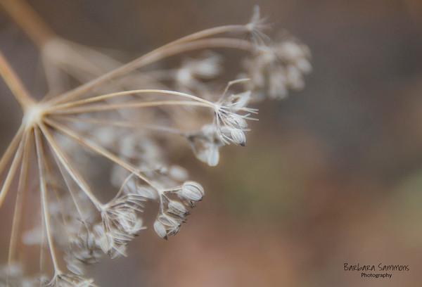 Dried Fennel Seed Head
