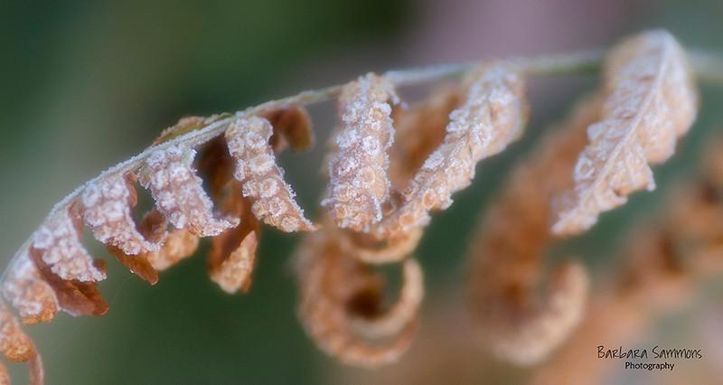 Frozen Fern Fronds