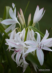 Chromium Lily