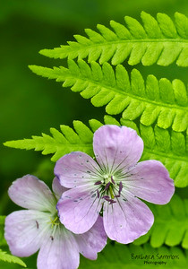 Cranesbill Geranium and Fern at the North Carolina Arboretum, Asheville, NC