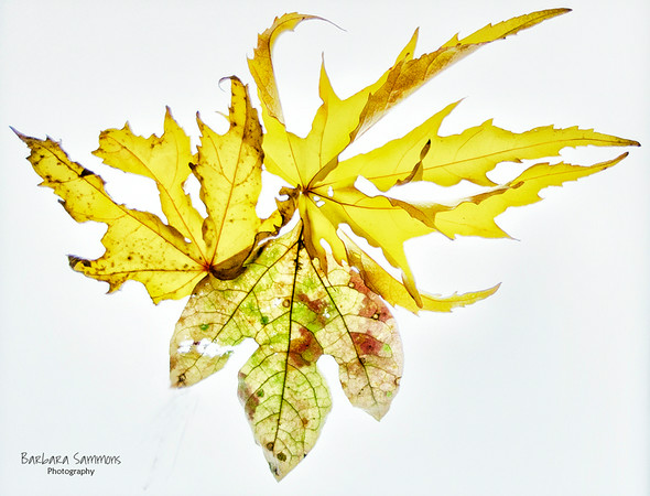 Swamp Hibiscus Leaves and Sassafras Leaf photographed on a Light Box