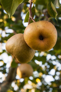 Orient Pears