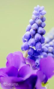 Grape Hyacinth and Violets