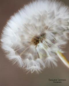 Wispy Dandelion Seed Head