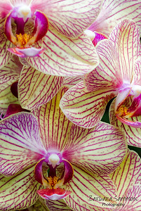 Orchids at Biltmore Conservatory
