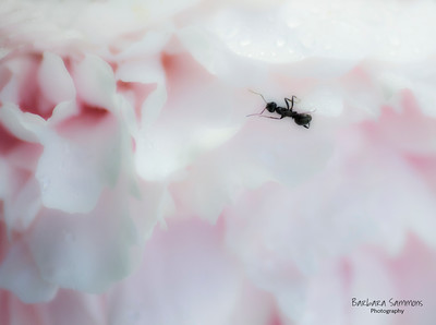 Don't Worry About the Ants - Ant on Pink Peony