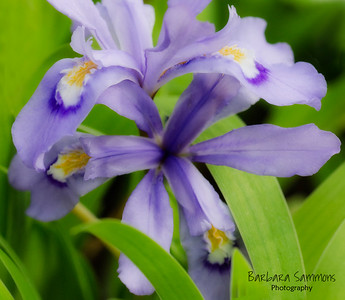 Dwarf Crested Iris at the North Carolina Arboretum, Asheville, NC