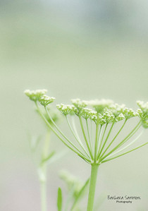 Parsley Seed Head