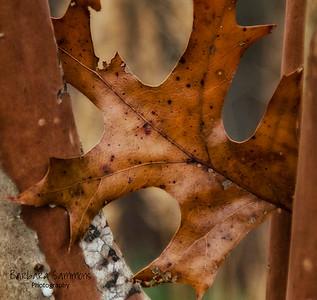 """""""Stuck"""" - Oak Leaf"""